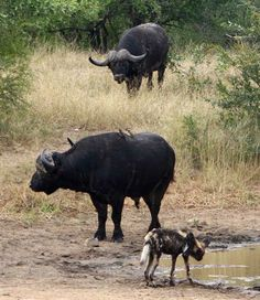 Wild dog and buffalo at the water. From the blog http://arathusa.co.za/african-wild-dogs-by-ranger-dries-jordaan-2/