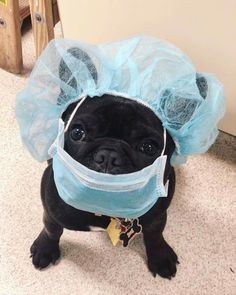 PetCure Oncology is committed to providing critical care and service to the pets and pet families that continue to need our services during the crisis. Super Cute Puppies, Baby Animals Super Cute, Cute Baby Dogs, Cute Little Puppies, Cute Funny Dogs, Cute Pugs, Cute Little Animals, Cute Funny Animals, Tiny Puppies