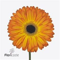 Gerbera Catwalk is a pretty Orange / Yellow cut flower. It is available wholesale in Batches of 50 stems. The slight orange appearance will enhance any yellow themed wedding floristry. A vibrant little flower and suitable for all general floristry. May Flowers, Amazing Flowers, Fresh Flowers, Yellow Flowers, Wedding Flower Arrangements, Wedding Bouquets, Wedding Flowers, Florist Supplies, April Wedding