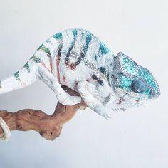1,723 отметок «Нравится», 22 комментариев — Kings Chameleons  (@kings_chameleons) в Instagram: «None like this stunning chameleon... Iceberg!!! #nosyboraha #pantherchameleon #Iceberg #chameleon…»