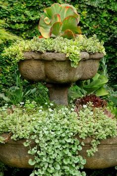 Fountain of Succulents: I planted Echeveria, sedum, Kalanchoe, cluster of sempervivums-hens and chicks, ice plant and trailing dichondra 'silver falls'.