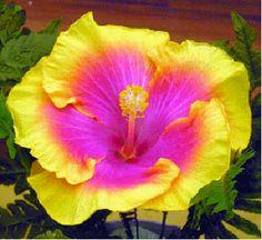 The Bon Temps Hibicus. What a beautiful flower.