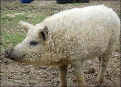 Woolly pigs ~ The Mangalitsa is a rare heritage breed originating in Hungary, developed early in the 19th century from old breeds crossed with wild boars.  They were bred for their lard on the Hungarian farms of Archduke Joseph in the 1830s. Herds shrank after WW I, & declined further with the introduction of fast-growing white pigs & cheaper, higher quality vegetable oils after WW II.  The breed is now becoming more popular with gourmet chefs for the superior taste & quality of the meat.
