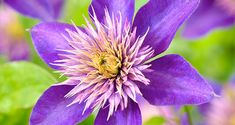 Evergreen clematis, also known as traveller's joy, old man's beard or Clematis Vitalba, is an eye-catching addition for any garden. Landscape, Jean Marie, Flowers, Plants, Gardens, Human Height, Balcony, Scenery, Plant