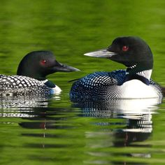 Caledonia Nature Card Set - Loons at Rest