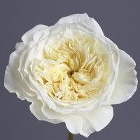 Patience (Auspastor):  Cut flower.  A delightful buttermilk rose with ruffled petals filled with fresh Old Rose fragrance with elements of fruit, lilac, and myrrh. The fragrance starts medium strong, but softens as the bloom ages, developing lemony notes.