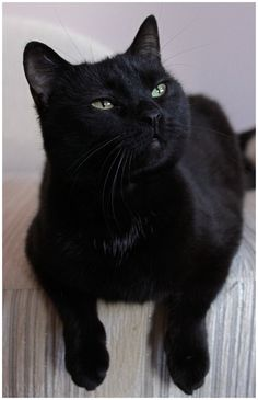 Beautiful black cat. -- looks my jud & trib would give me