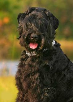 Black Russian Terrier Dog #Dogs #Puppy