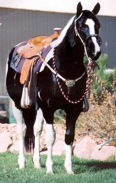 Beautiful contrast between saddle and horse. American Paint Horse, American Quarter Horse, Quarter Horses, Most Beautiful Animals, Beautiful Horses, Beautiful Creatures, Jumping Horses, Pinto Horses, Western Riding