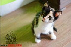 Caroll #cute #cutecats #cats #caturday #kot #koty #neko #gato #katz #katzen #kittens #chat