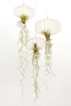 cultiver les tillandsia filles de l 39 air original deco fleur pinterest recherche et d coration. Black Bedroom Furniture Sets. Home Design Ideas