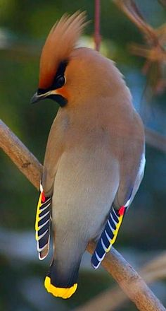The Bohemian waxwing is a starling-sized passerine bird that breeds in the northern forests of Eurasia and North America. It has mainly buff-grey plumage, black face markings and a pointed crest. Pretty Birds, Beautiful Birds, Animals Beautiful, Cute Animals, Pretty Animals, Beautiful Pictures, Kinds Of Birds, All Birds, Love Birds