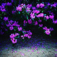 kongobuji #rhododendron #koyasan #kongobuji #金剛峯寺 #高野山 #石楠花 #しゃくなげ  2017/05/12 17:34:32