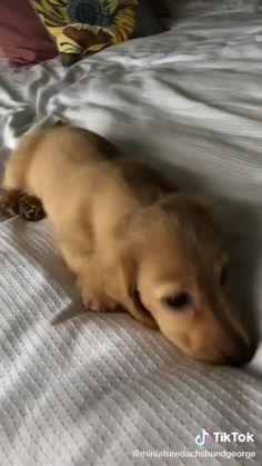 Dachshund Puppies, Dachshund Love, Dachshunds, Cutest Dogs, Dog Videos, Cute Funny Animals, Shiba, Pomeranian, Young People