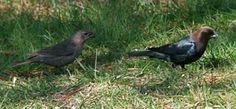 Brown-headed Cowbird :: an annoying bird!!!