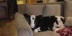 Meet Goliath, the Baby Cow That Thinks He's a Dog  - TownandCountryMag.com