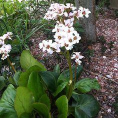 Vivace très rustique au feuillage volumineux et sa floraison hivernale et printanière. Supporte le froid et tous types de sol, même les plus pauvre. Très facile à cultiver.