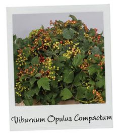 Viburnum Opulus Compactum   New Arrival   Available in our webshop www.holex.com   Insights, your weekly floral update!