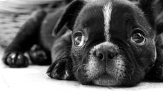 Black And White Photography Puppiesblack Animals Dogs Sadness ...