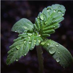 Beautiful macro seedling shot. Photo credit: MassRoots user aloha_grown   massroots.com
