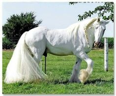 Light grey draft horse with braids in the mane