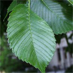 American Elm - (Ulmus americana) - Leaves