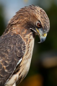 Observing by Sabine Reuss (Red-tailed Hawk)