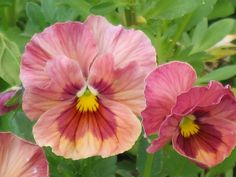 Pink Pansies - my favorite flower in the garden.  Just wish they would last all summer long.