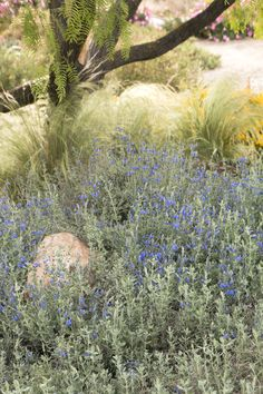 Salvia chamaedryoides...