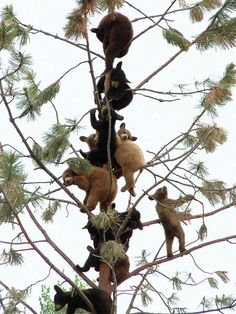 bears in a tree!