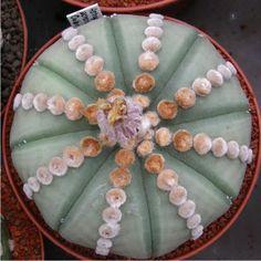 StarAstrophytum.com Surat Thani, Succulents Diy, Cacti, Green, Gardens, Pink, Wilderness, Exotic Flowers, Plants