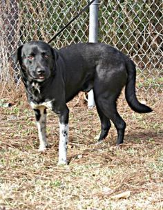 2 / 10    Petango.com – Meet Alekse, a 3 years Retriever, Labrador / Mix available for adoption in Hattiesburg, MS Contact Information Address  1901 North 31st Avenue, Hattiesburg, MS, 39401  Phone  (601) 544-6632  Website  http://www.petango.com/souther npinesanimalshelter  Email  SPASMgr@comcast.net