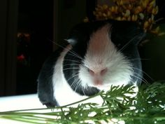 What to do if your guinea pig gets lost indoors. Would probably work for rats too, though I've heard from other rat owners that they tend to come back after a couple minutes of exploring. Guinea Pig Care, Guinea Pigs, Capybara, Animal Antics, Little Critter, Animals Of The World, Petunias, Dog Care, Fur Babies