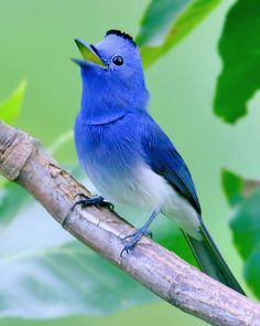 Black-naped Monarch (Hypothymis Azurea) | Flickr - Photo Sharing!