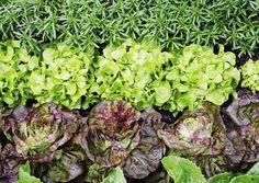 Salaatin kasvatus onnistuu aloittelijaltakin jopa parvekelaatikossa tai ruukussa.  Lue Viherpihan vinkit ja kasvata maukasta lähiruokaa!