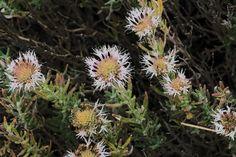 Monardella hypoleuca ssp. lanata. Regional Parks Botanic Garden Picture of the Day. 1 Sep 2016