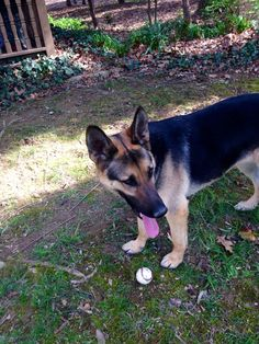 Rascal our German Shepherd