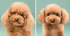 Dogs Before And After Their Haircuts (16 Pics) | Bored Panda