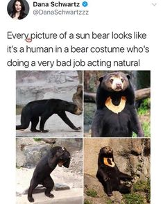 sun bears just being dorks speak to me on a personal level