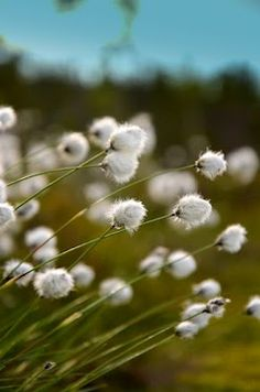 Tussock cottongrass by Krista Järvelä. One of my favorite wild plants in Finland