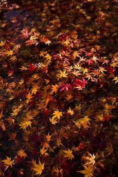 Japanese maple leaves 紅葉