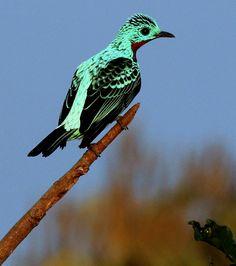 Foto anambé-azul (Cotinga cayana) por Mathias Singer | Wiki Aves - A Enciclopédia das Aves do Brasil