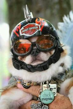 Harley Dog..I am not a fan for dressing up your pet, but I am sure this dog picked out the helmet on his own....ride on!