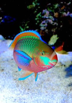 Quoy's Parrotfish (Scarus quoyi) - I wish I could live under the sea Underwater Creatures, Underwater Life, Ocean Creatures, Beautiful Sea Creatures, Animals Beautiful, Colorful Fish, Tropical Fish, Poisson Mandarin, Parrot Fish