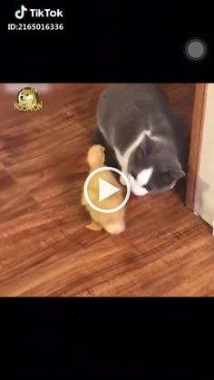 Na na na bụp Love Pet, I Love Cats, Cute Cats, Funny Cats And Dogs, Cats And Kittens, Best Small Dog Breeds, Animals And Pets, Cute Animals, Very Small Dogs