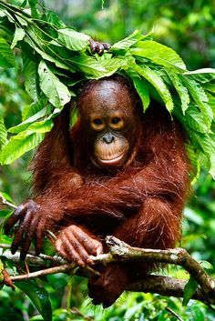 One of the things I've been most passionate about for years is Orangutans. It be an absolute dream come true to one day work on saving these beautiful creatures. #LYD #Sportsgirl
