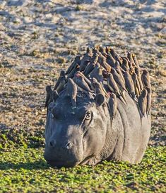 storyhearts-journey: Red and yellow billed oxpeckers on a heavy hippo. Image by Jacana Maun