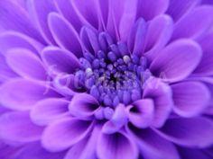 Purple Dahlia - winter flower