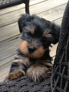 my little yorkie that I named Goliath looked just like this,  Mom kinda took this one over