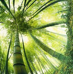 Bambus - wächst am schnellsten von allesn Pflanzen